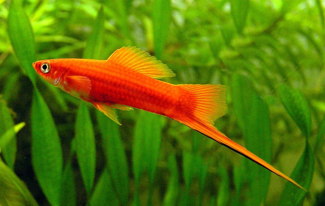 aquarium fish swordtail