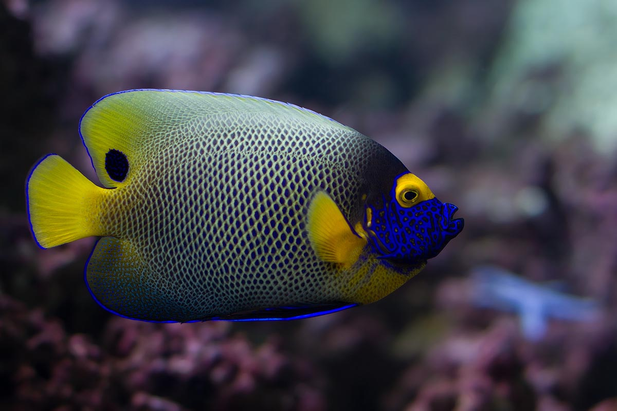 colourful fish aquarium blueface-angelfish