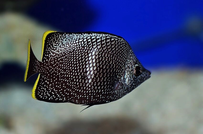 colourful fish aquarium wrought-iron-butterflyfish