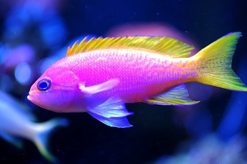 colourful fish aquarium anthias