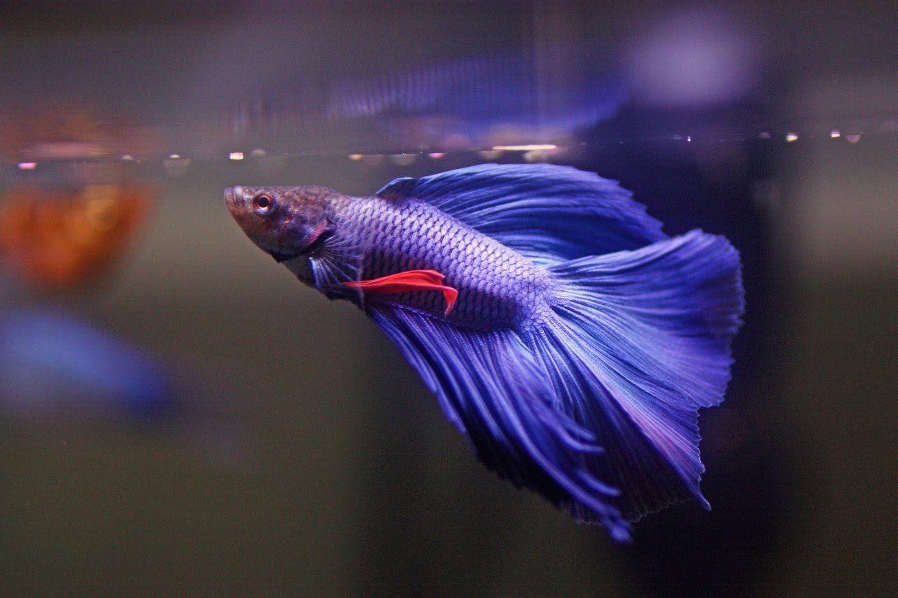 colourful fish aquarium betta