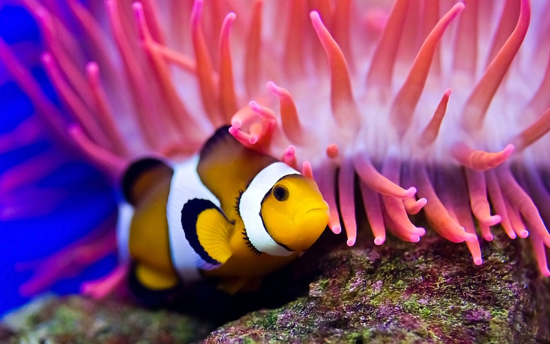 colourful fish aquarium clown