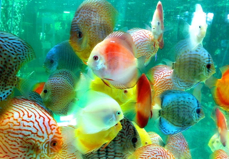 colourful fish aquarium discus