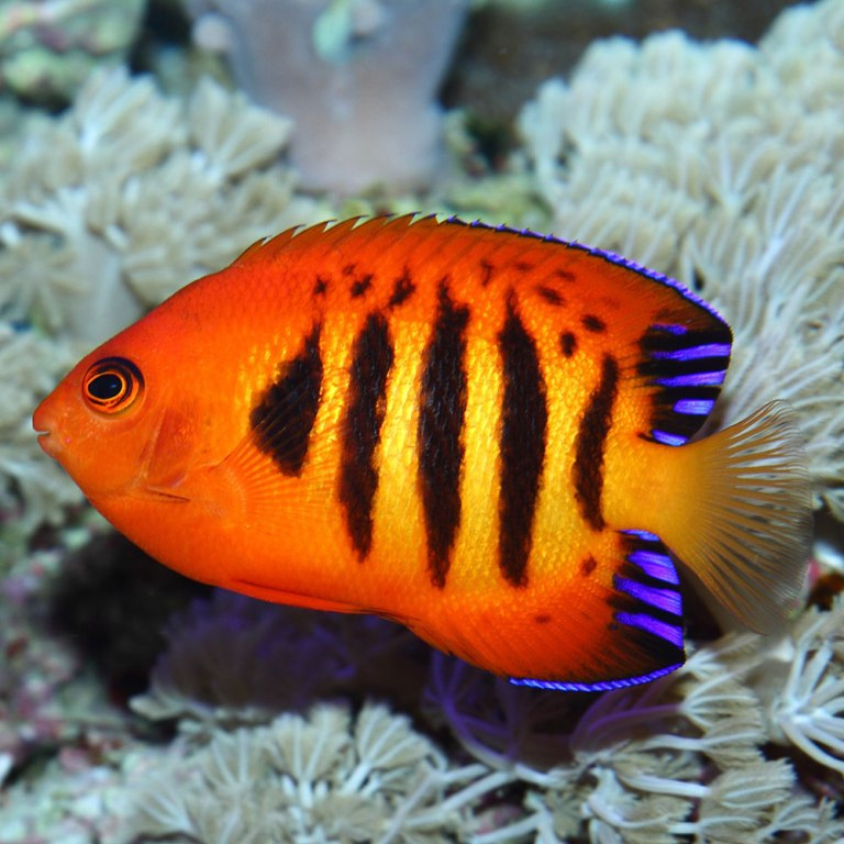 colourful fish aquarium flame-angel-fish