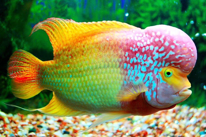 colourful fish aquarium flowerhorn