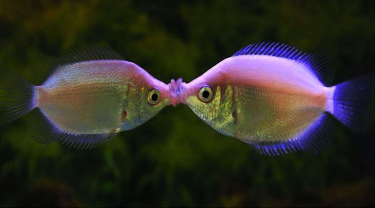 colourful fish aquarium gourami