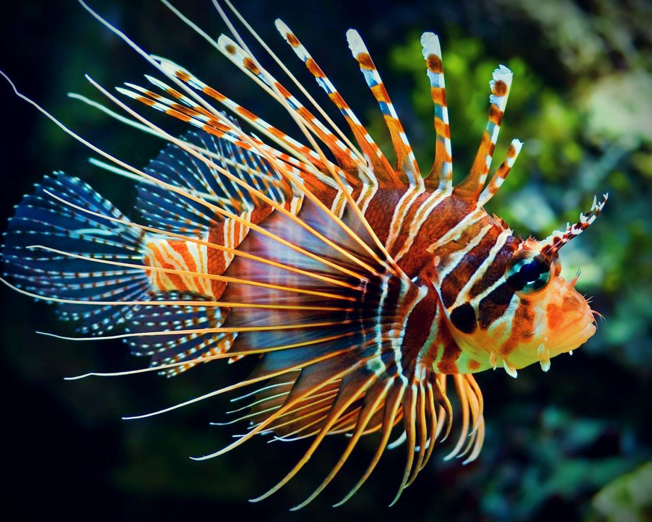 colourful fish aquarium lionfish