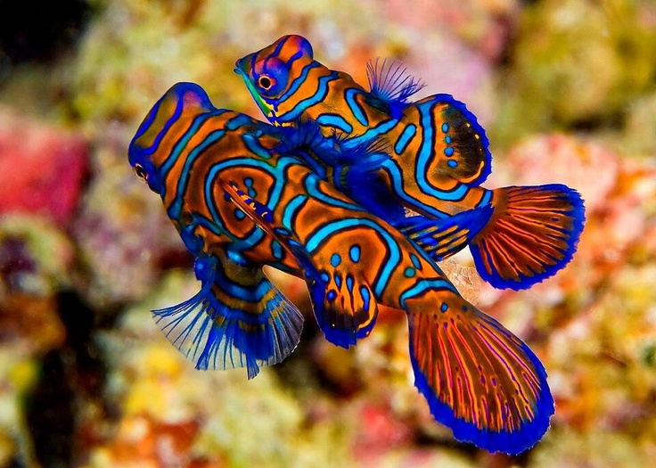 colourful fish aquarium mandarin-fish