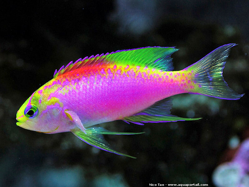 colourful fish aquarium pseudoanthias