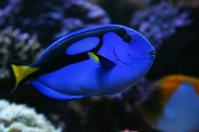 colourful fish aquarium regal tang