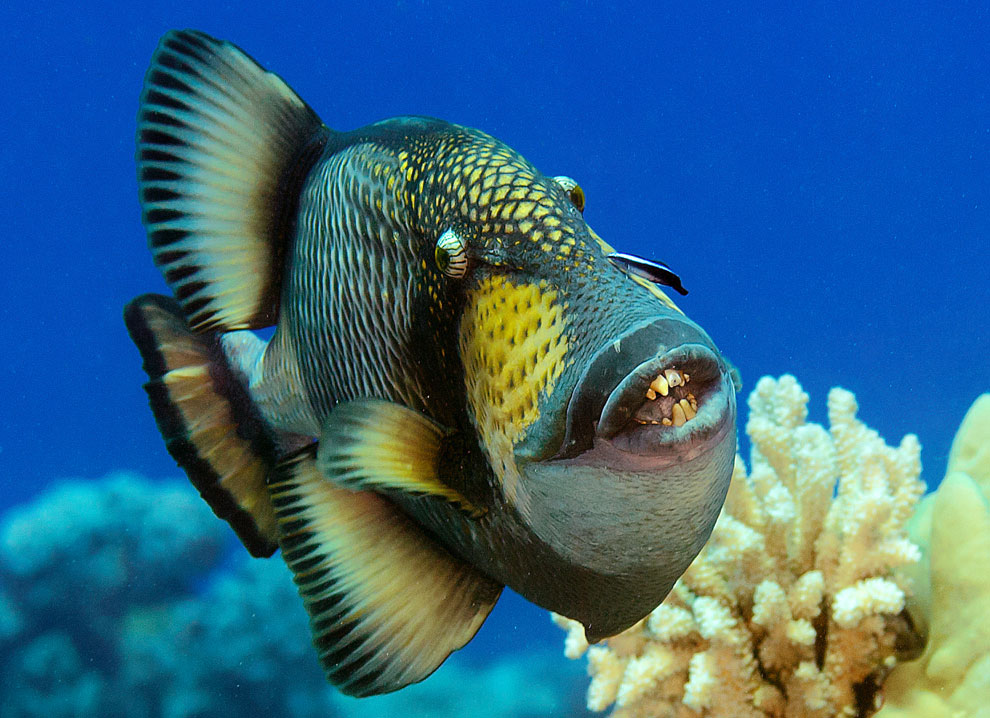 colourful fish aquarium triggerfish