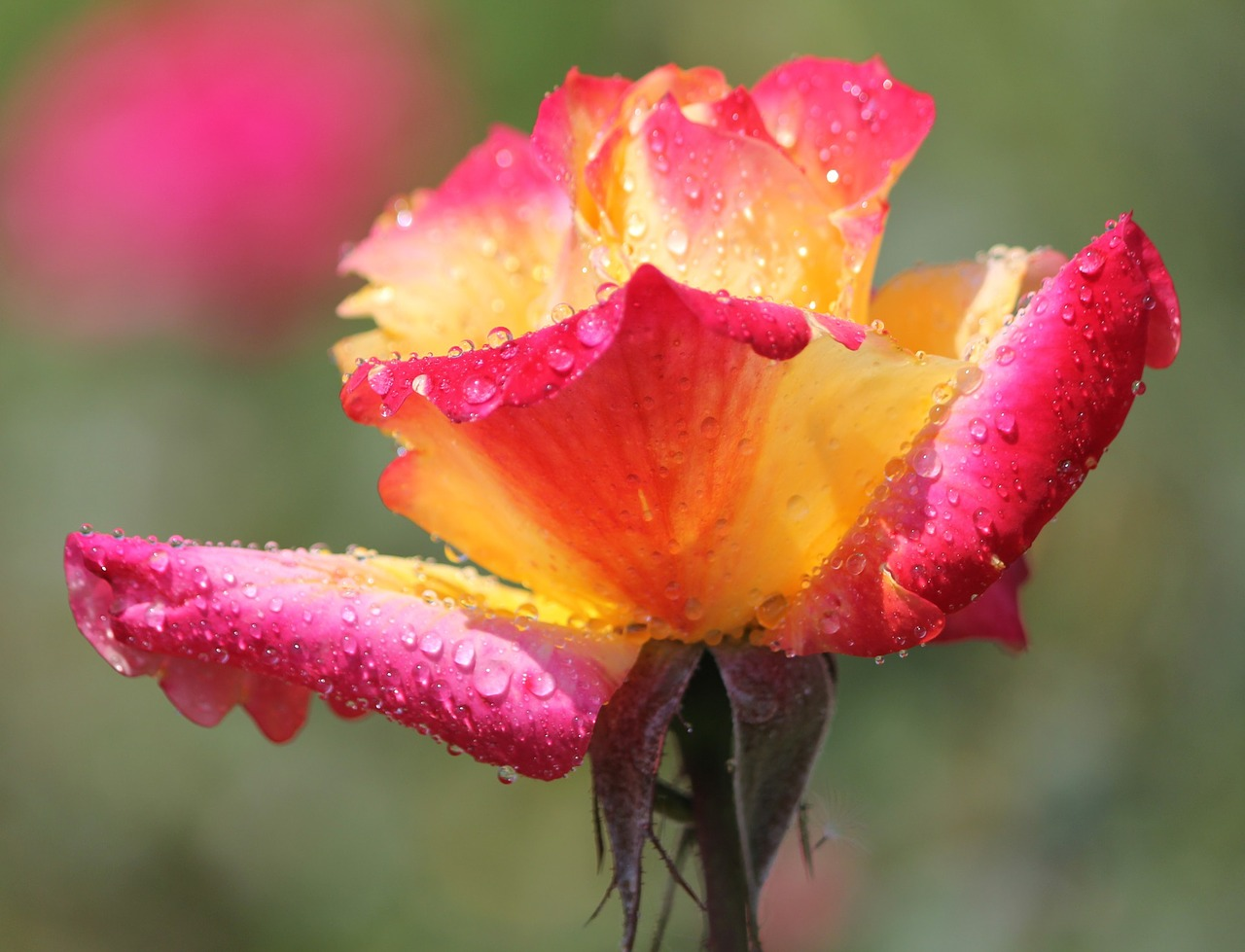 monsoon rain drops flower