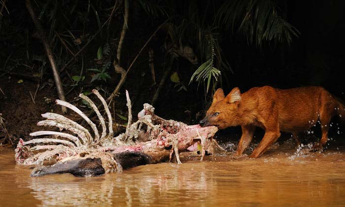 Kanha National Park wild dog dhole