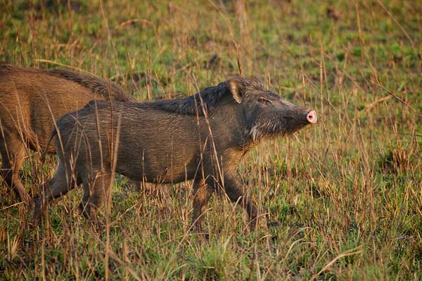 Kanha National Park wild boar