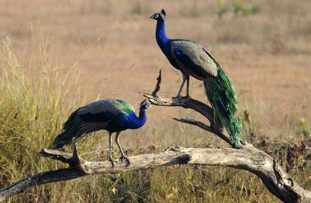 Kanha National Park birds peacock