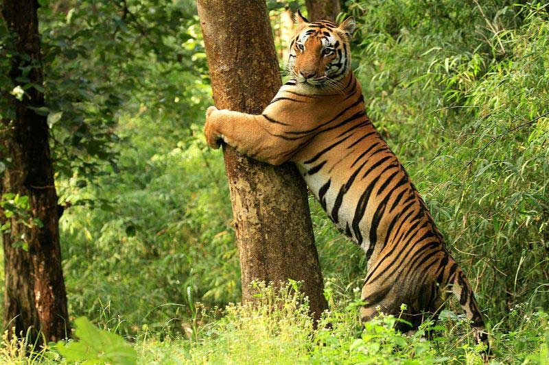 Kanha National Park tiger reserve