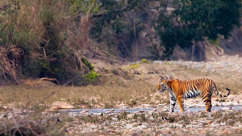 Kanha National Park Indian Tiger at waterhole