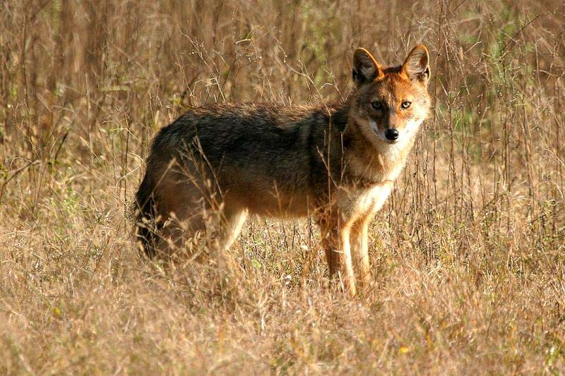 Kanha National Park tiger reserve jackal
