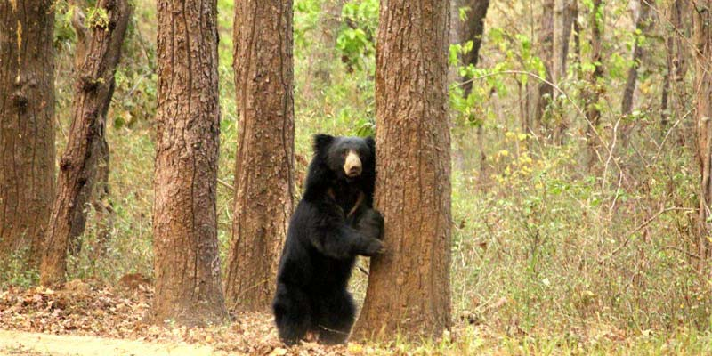 Kanha National Park black bear