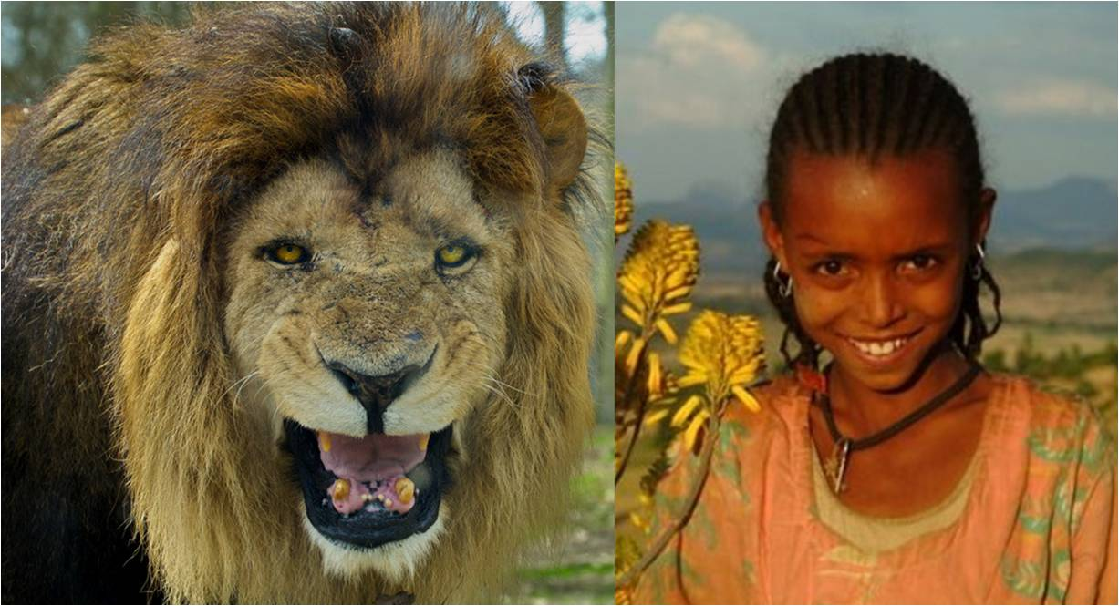 animals lions save girl from kidnappers