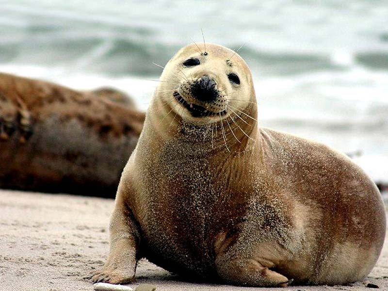 animals seal saves man from drowning