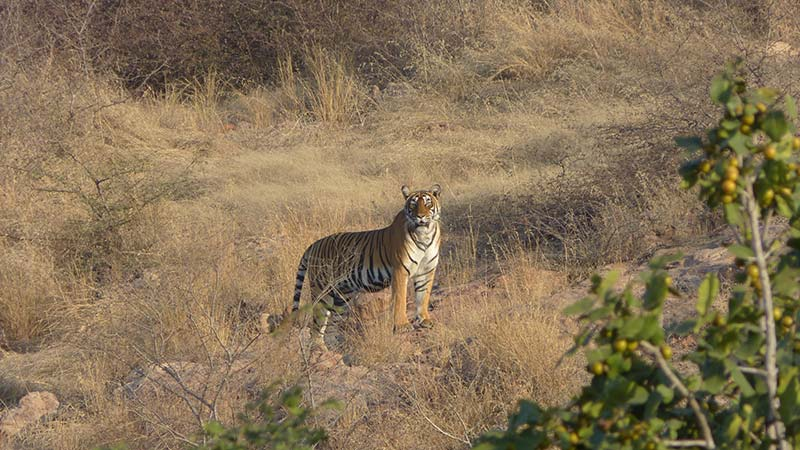 Best Safaris In India tiger
