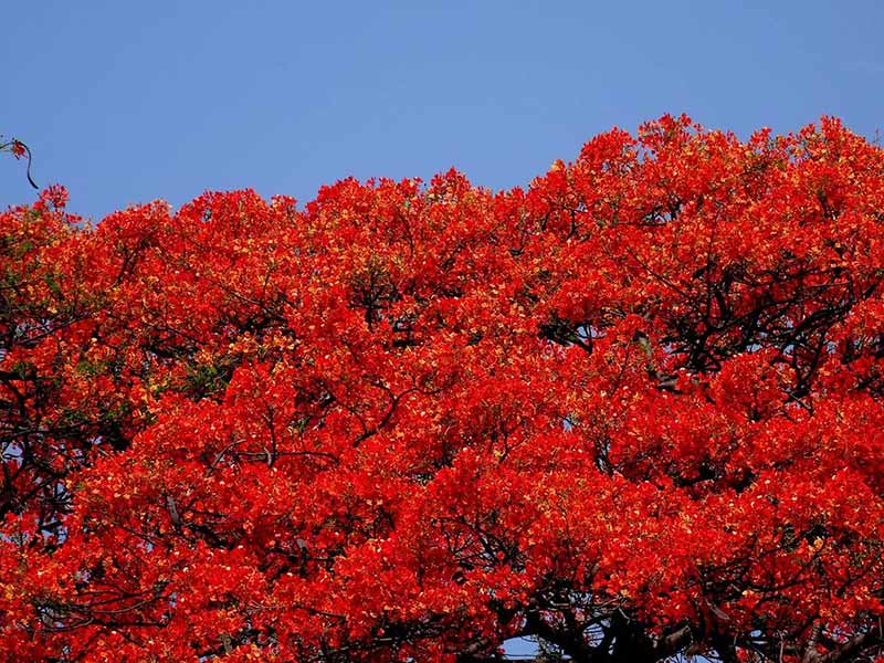 Summer Flowers and trees of India Gulmohar Krishnachura