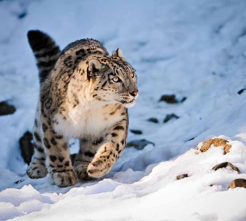 Lahaul and Spiti Valley Snow Leopard